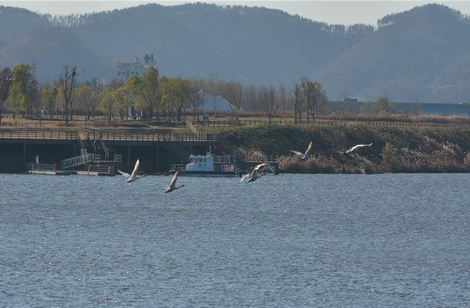 사진은 창녕 함안보에서 발견된 멸종위기종 동물인 큰고니(환경부 제공)/그린포스트코리아