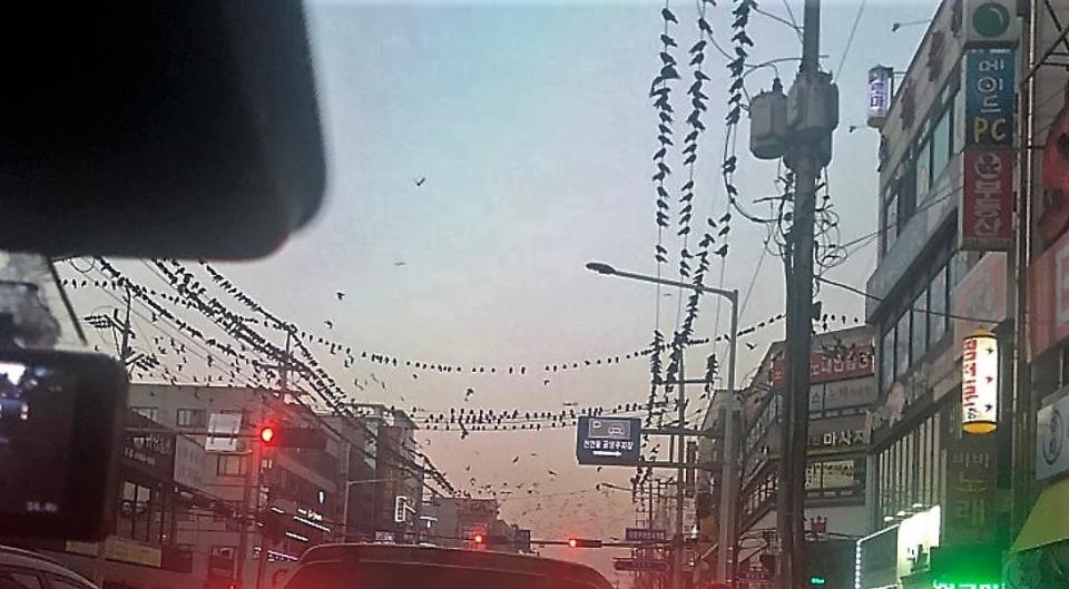 경기도 수원시가 까마귀떼 출현으로 또 다시 피해를 받고 있다.(온라인 커뮤니티)2019.1.10/그린포스트코리아