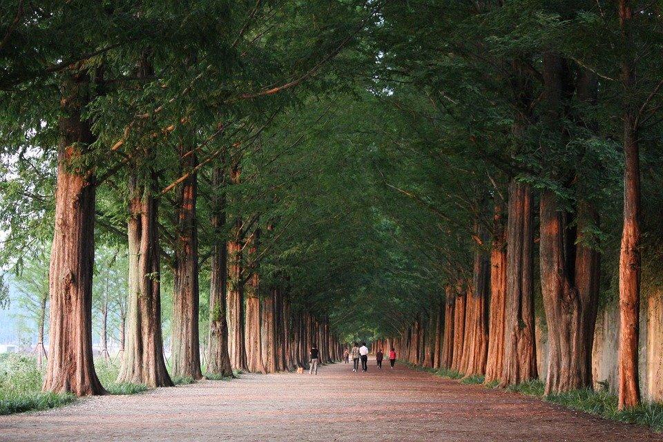 산림청이 오는 2050년까지 나무 30억 그루를 심는다. 친환경 경제를 구현하고 신기후체제에 대응하는데 '나무'의 힘을 적극 활용하겠다는 계획이다. 사진은 담양 메타세콰이어길. 독자 이해를 돕기 위한 이미지로 기사 특정 내용과는 관계없음. (픽사베이 제공)/그린포스트코리아