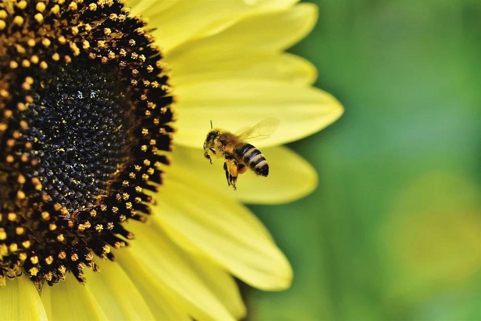 미세먼지 농도가 높으면 꿀벌이 꽃꿀을 얻기 위해 식물을 찾는 시간이 늘어나는 것으로 밝혀졌다. 공기가 나빠지면 동물의 생태에도 영향을 미친다는 의미다. (픽사베이 제공)/그린포스트코리아